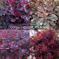 cotinus-coggygria-royal-purple