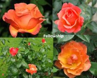 rosa fellowship